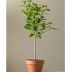 Citrinmedžio sodinukai  3m (užauginta Lietuvoje)